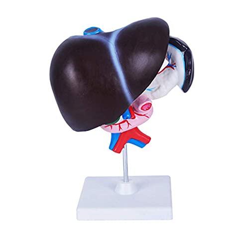 GaoF Modelo anatómico de hígado Humano - Modelo de anatomía de órganos Humanos Modelo de hígado páncreas y duodeno - Modelo anatómico médico de hígado, páncreas y duodeno - para exhibición de