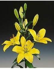 Ramo Flores Frescas de Lilium Amarillo 10 Tallos PORTES GRATIS
