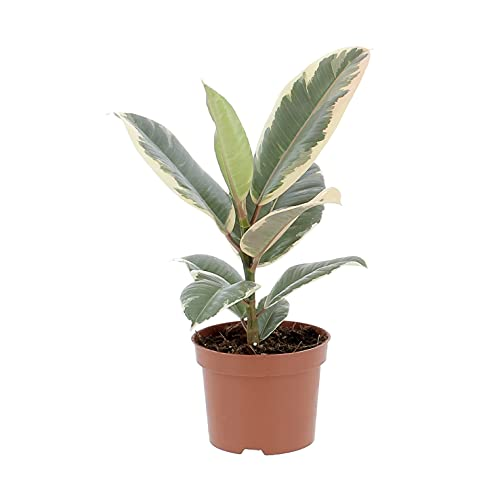 KENTIS - Ficus Elastica Tineke - Piante Vere da Interni Purifica Aria - H 25-35 cm e Vaso Ø 12 cm