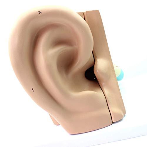Modelo De Anatomía del Oído - Kit De Modelo De Oído De...