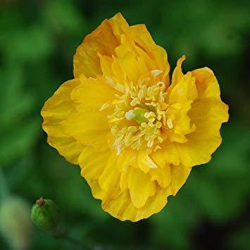 Seedsown - Meconopsis cámbrica Mezclado de los gérmenes