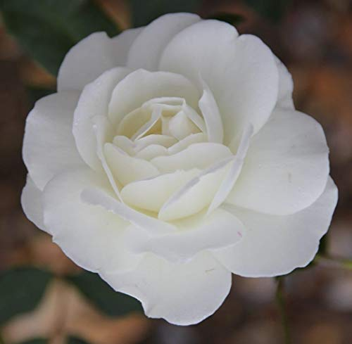 Rosa Bush Rose Floribunda 'Iceberg' Plant