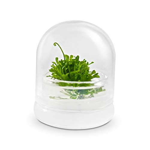 BLOOMIFY Sundew Plant Terrarium - Zero Care - Drosera spatulata - 2' Dome