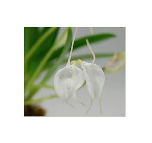 Stk - 1x Masdevallia Biana Liu weiß Meristem Sorte Orchidee Pflanze OW106 - Seeds Plants Shop Samenbank Pfullingen Patrik Ipsa