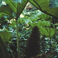 JustSeed Mammutblatt, Gunnera Manicata, spektakulär, 50 Samen