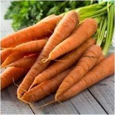 Packung mit 800 Samen, Karottensamen (Daucus carota)