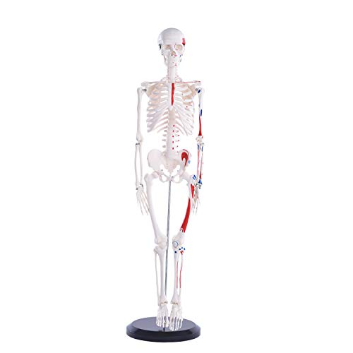 Anatomie Modell Menschliches Skelett mit Muskelbemalung, mittel, ca. 85 cm, geeignet als Lernmodell oder Lehrmittel zur Untersuchung von Funktion, Bau und Bewegung des Körpers.