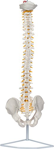 """29"""" Flexible Chiropractic Spine Model with Stand by Trademark Scientific"""