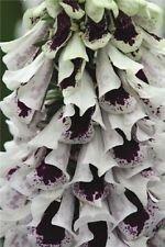 50+ Mix de Split Pam Foxglove Digitalis/longue durée annuelle Graines de fleurs