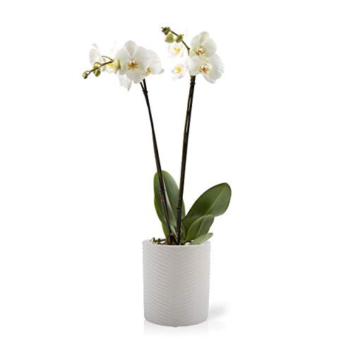 Best orchids plants live white for 2020
