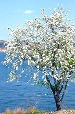 White Dwarf Bauhinia, plante arbre orchidée neige bonsaï fleurs exotiques graines 50 graines