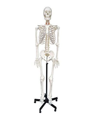 Wellden Medical Anatomical Human Skeleton Model, 170cm, Life Size, w/Nerves, Vertebral Arteries, Stand Included