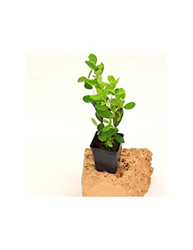 Piante Feijoa (Kit da 3 piante) Vaso 7cm