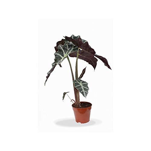 Verdecora - Alocasia polly maceta ø13cm