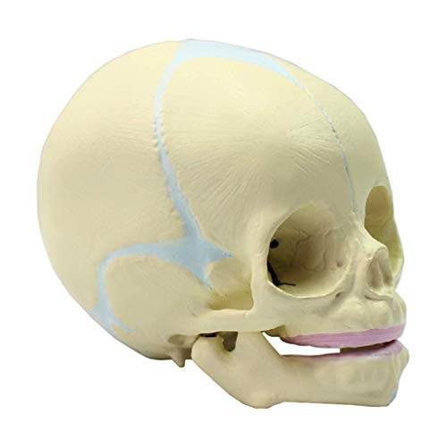 Anatomical Human Fetus Skull Model Life Sized 30 Weeks Pregnant Realistic Replica of The Fetal Infant Head & Educational Materials for School