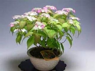 【バーゲン・セール】山アジサイ(紅)の鉢植え(大)開花が終わり剪定を行いました。