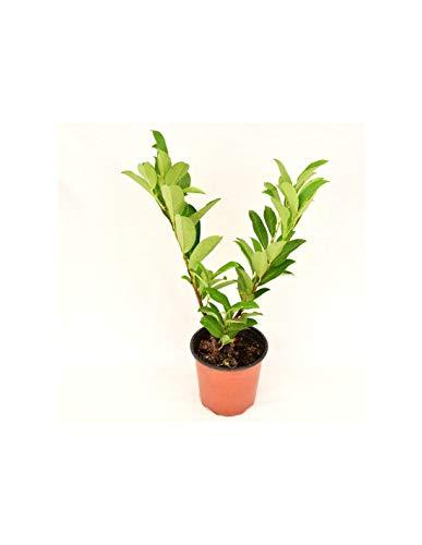 Pianta Lauroceraso, Vaso 7cm, Altezza 5/10cm