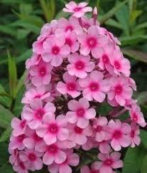 BloomGreen Co. Blumensamen: Staudenphlox Mixed Seeds Garten Hohe Germination Garten [Home Garten Samen Eco-Paket] Pflanzensamen