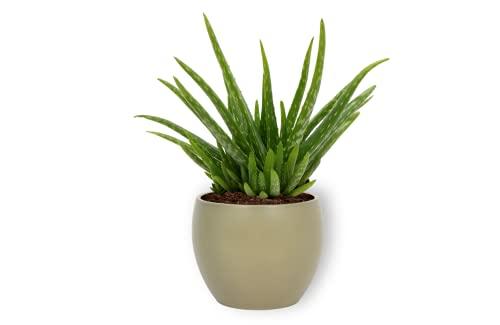 Aloe Vera Clumb - Echte Aloe Vera Pflanze - Zimmerpflanzen im grünen Übertopf - Höhe +/- 25cm inklusive Topf - 12cm Durchmesser (Topf) - Aloe Vera Pflanzen Luftreiniger Deko Wohnzimmer