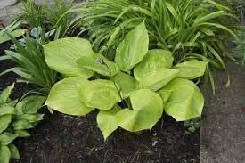 Dichondra Some reservation 5 Hosta Sum and Substance Plant Nippon regular agency Seeds Green.