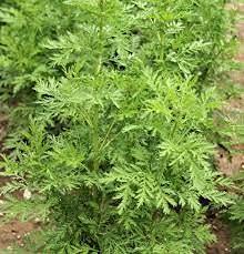 Genipap Semillas de plantas de Artemisia annua