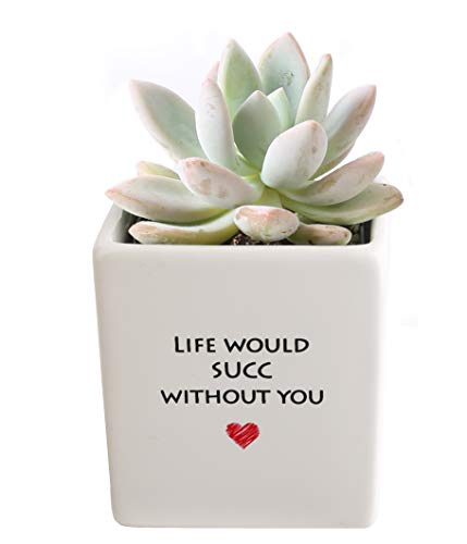 Costa Farms Live Mini Succulent Echeveria Indoor Plant Grower's Choice, Rosette, 4-Inches Tall