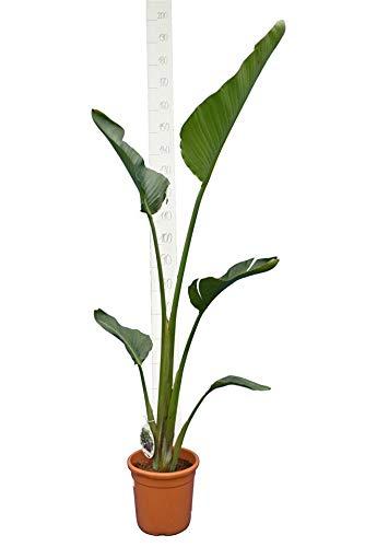 Paradiesvogelblume - Baumstrelitzie - Strelitzia nicolai - Weiße Blüten - 140-160cm - Topf Ø 24cm