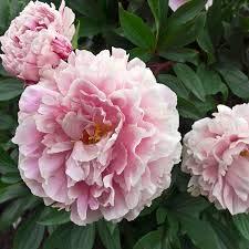 semillas de flores de peonía peonía rara negro bonsai semillas decoración de jardín de casa 100% semillas verdaderas 5pcs / bolsa
