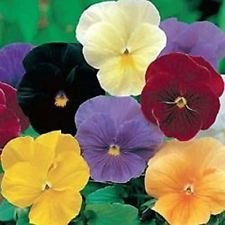 Pansy- Crystal Clear Mix - 50 graines
