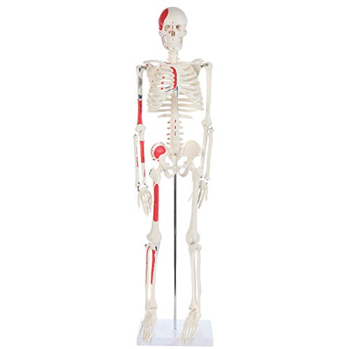 """Anatomy Lab Half Life Size Painted and Numbered Human Skeleton Model, 35"""" Anatomical Replica with Muscle Insertion and Origin Points, Removable Skull Cap & Jaw, Durable Stand for Display and Study"""