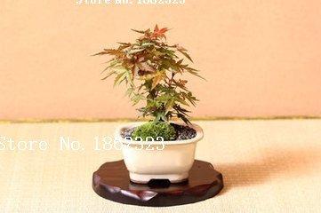 Hot! 50 pièce graines de l'érable 2016 New Garden Flowers Quatre Saison Semis Monde Graines de fleurs rares pour le jardin