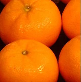 Orange Frost Hardy Satsuma Tree - Cold hardy down to 15 F. degrees (2 Year old) Can not ship any citrus outside the state of Texas
