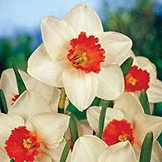 Decoy Daffodil Spring Flowering Bulbs - One of The Few red Trumpets You'll find! 5 Bulbs Measuring 14 to 16 cm per Order