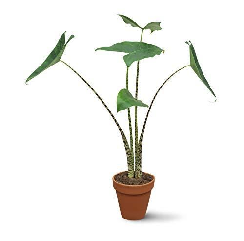Green Me Up® Alocasia Zebrina No.14 | trendige Pfeilblatt Pflanze | gestreifte Blattstiele | im 14cm Topf | Höhe 50cm (nur Pflanze)