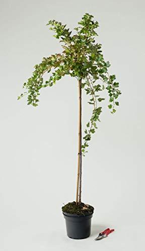 Stachelbeere Hinnonmäki gelb - Ribes uva-crispa Hinnonmäki gelb 80-90 cm hoch Hochstamm - Garten von Ehren