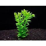 グリーンロタラ (5本) ◆人気の緑 有茎草 丈夫◆