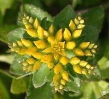 Sedum Aizoon (500 Samen), Mauerpfeffer (Phedimus), wunderschöne Bodendecker