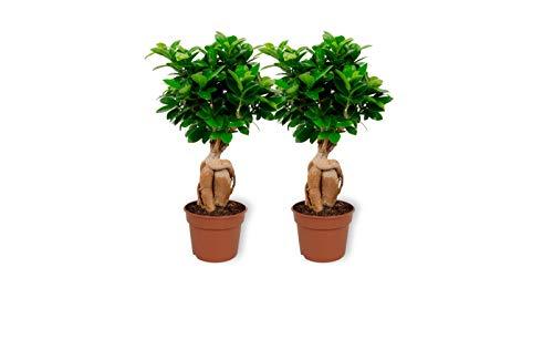 2x Ficus Ginseng - Bonsai - ± 30 cm hoch - 12 cm Durchmesser