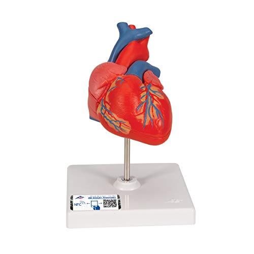3B Scientific Menschliche Anatomie - Klassik-Herzmodell, 2-teilig + kostenloser Anatomiesoftware - 3B Smart Anatomy
