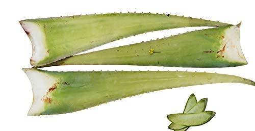 3 x Bestes Bio Aloe Vera Barbadensis Blätter, Health for all