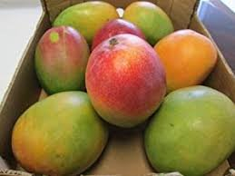 Fresh Kent Mangoes 7 pieces ( 8-10 lbs)