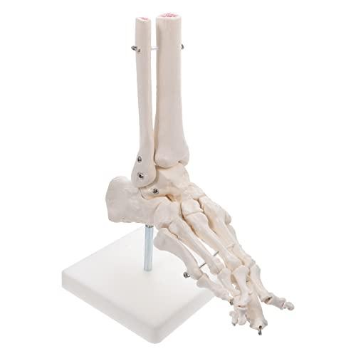Scicalife Modelo de Articulación de Pie Humano Modelo de Pie Esqueleto Científico con Base de Soporte Material de Enseñanza para El Salón de Clases de Ciencia sin Ligamento