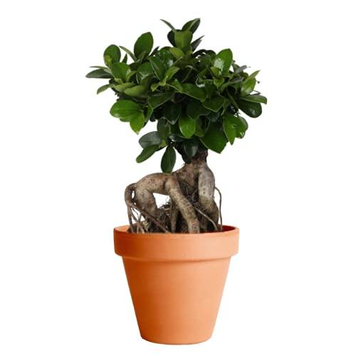 Ficus Ginseng con Maceta de Cerámica DECOALIVE Planta Natural Ficus Retusa o Ficus Bonsái de Interior