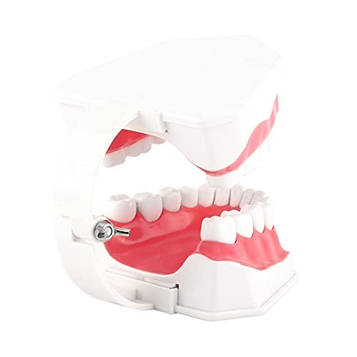 Herramienta de demostración estándar de encías de dientes para adultos, modelo de dientes anatómicos antioxidantes, no tóxico, fácil de limpiar y empaquetar para la enseñanza dental o el