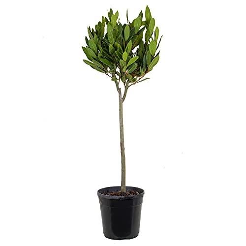 Echter Lorbeer   Laurus Nobilis Hochstamm - Freilandpflanze im Anzuchttopf ⌀21 cm - ↕90-100 cm