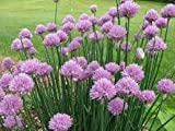 Alick 100 semillas de plantas de cebollino