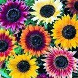 Summer Beauty Mix Sunflower - Pkt. 50 Seeds