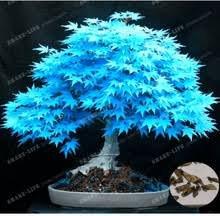 Baumsamen 20 Ahornsamen Bonsai blau...