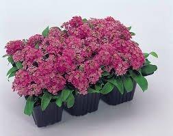 BloomGreen Co. Graines de fleurs: Alyssum doux jardin Accueil (19 Packets) Jardin Graines de plantes