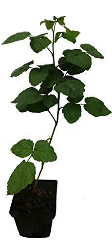 3 x Dornenlose Taybeere - Buckingham Tayberry - drei Pflanzen